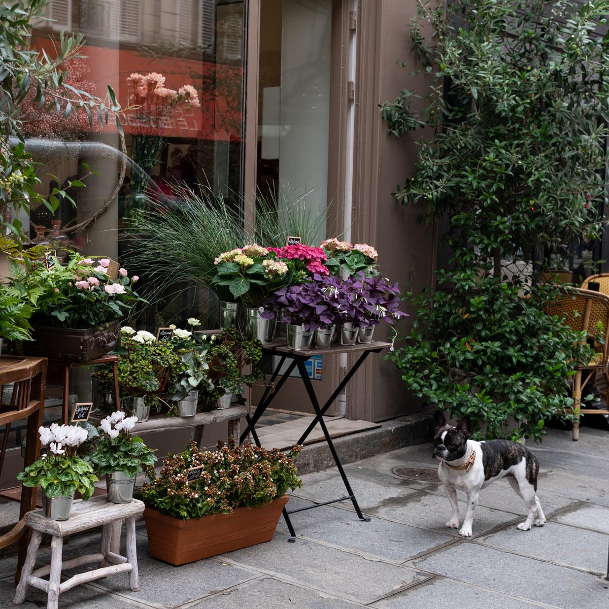 French Bulldog, Paris France