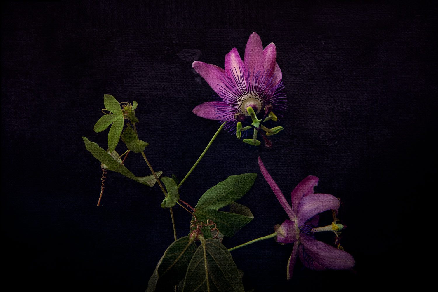 Passion Flower 03