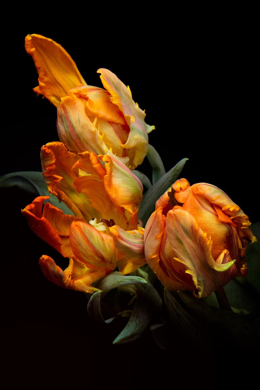 Parrot Tulip Series 01