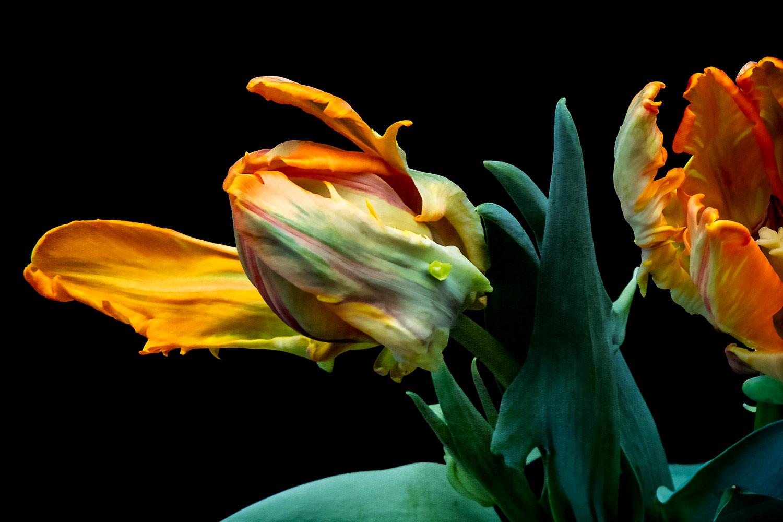 Parrot Tulip Series 03